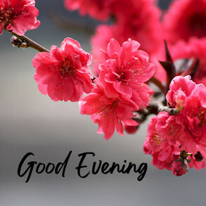 good-evening-with-pink-blossom-flower