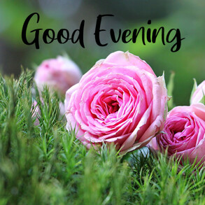 good-evening-with-rose-flower