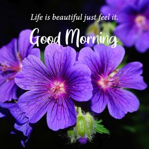 good-morning-wish-with-purple-geranium-flower