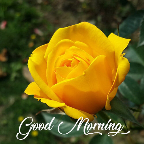 good-morning-wishes-with-yellow-rose-flower